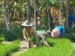 TNI Dampingi Petani Cabut Benih Padi di Aceh Utara
