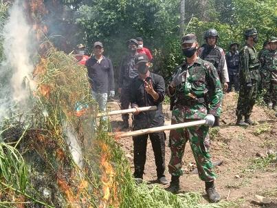 TNI Obrak-abrik 2 Hektar Ladang Ganja di Aceh Utara